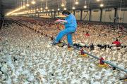 реализуем цыплята, утки, индюки