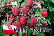 саженцы ремонтантной малины Polana, ежевики Торнфри
