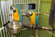 Пара рук подняли сине-золотой попугаи ара для принятия