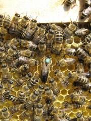 Пчелиные плодные матки.Карпатка