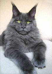Приму в дар или куплю не дорого породистого котенка МЕЙН – КУН