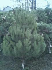 Сосны и елки оптом