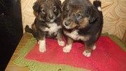 Два щенка-девочки ищут дом!