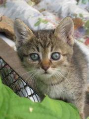 Серо-тигровые малыши мечтают о заботливом хозяине!