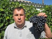 Продам висококачественные саженцы винограда