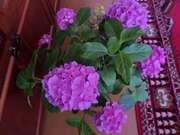 комнатные растения-Гортензия- розовая
