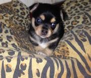 Продам щеночка Чихуахуа-Мини. 4000 грн. Родился 30.08.2017