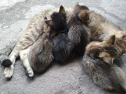 Срочно отдам котят-мышеловов