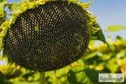Семена подсолнечника Белла,  Неома,  Конди,  Тунка и другие
